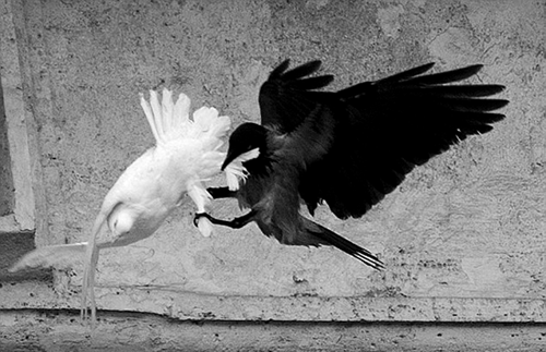 Pope throws 'Dove of Peace' from window. 'Dove of Peace' ignored by Crow of Nature